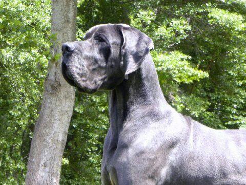 Neo Victory Danes Dane Dogs