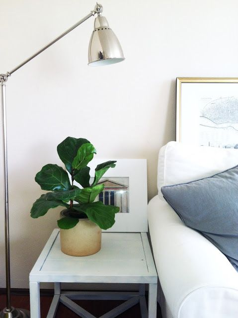 Itty Bitty Fiddle Leaf Fig Tree. Need to start one for me, see if gets as big as moms.