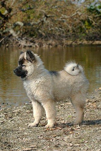 Like my Jansku as young. Eurasier - so sweet!
