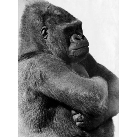 Close-up of a gorilla with its arms crossed Canvas Art - (18 x 24)