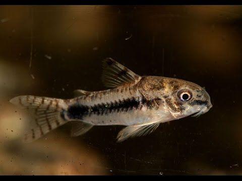 Salt And Pepper Cory Corydoras Habrosus Youtube Tropical Freshwater Fish Fish Pet Freshwater Fish