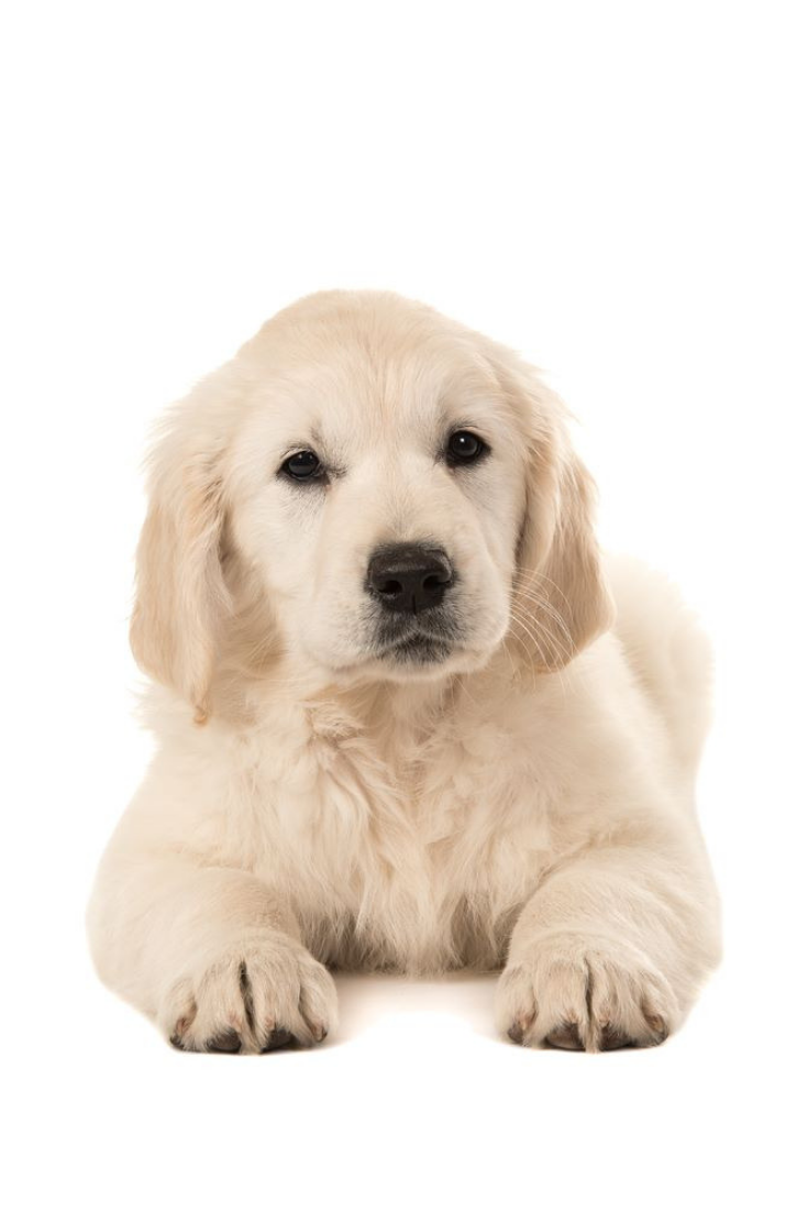 Cute Golden Retriever Puppy Lying Down Facing The Camera Isolated On A White Background Goldenretriever Golden Retriever Retriever Puppy Retriever