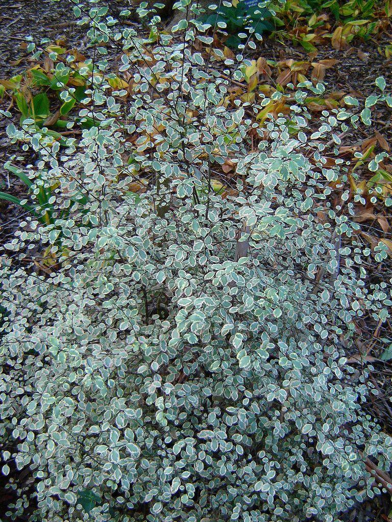 Pittosporum tenuifolium 'silver magic', groenblijvend, z. standplaats, hoogte 2 - 4 m.