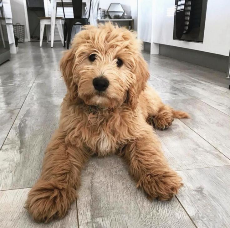 Pin By Shannon Ives On Home In 2020 Goldendoodle Puppy Cute
