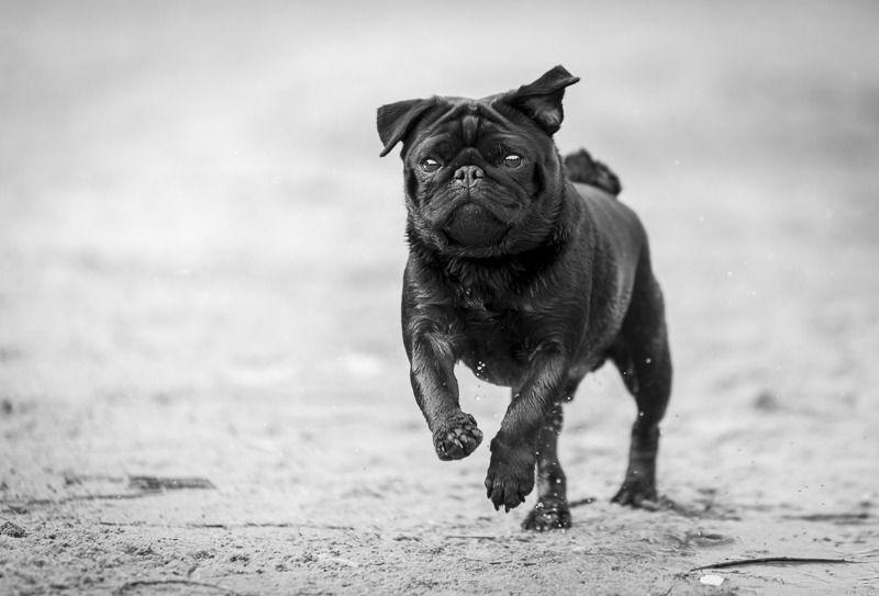 Gizmo Pug Pomeranian Mix Available For Adoption Through Mid