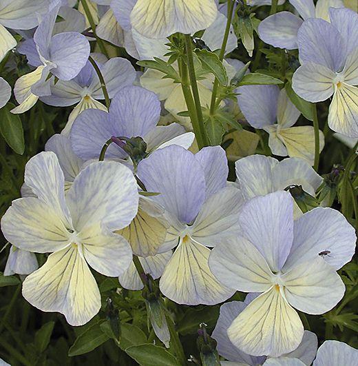 Viola cornuta 'Brimstone' (EM) Soft subtle colouring of pale cream delicately overlaid & veined with pale slatey-blue.