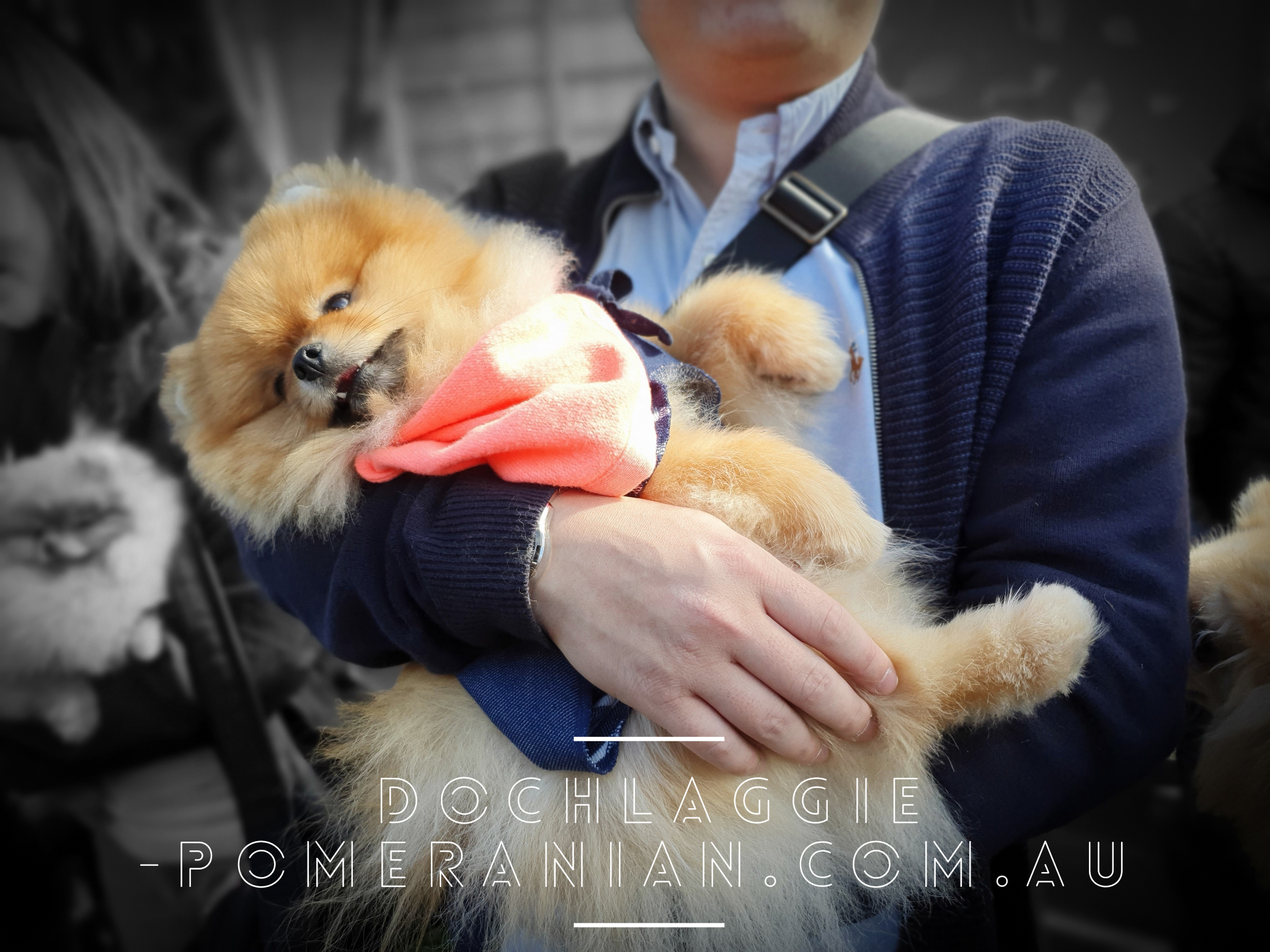 Dochlaggie Pomeranian Puppies Melbourne Dochlaggie Dochlaggiepomeranians Pomeranians Pomeranian Pomeraniandog Pomeranian Beautiful Dogs Pomeranian Puppy