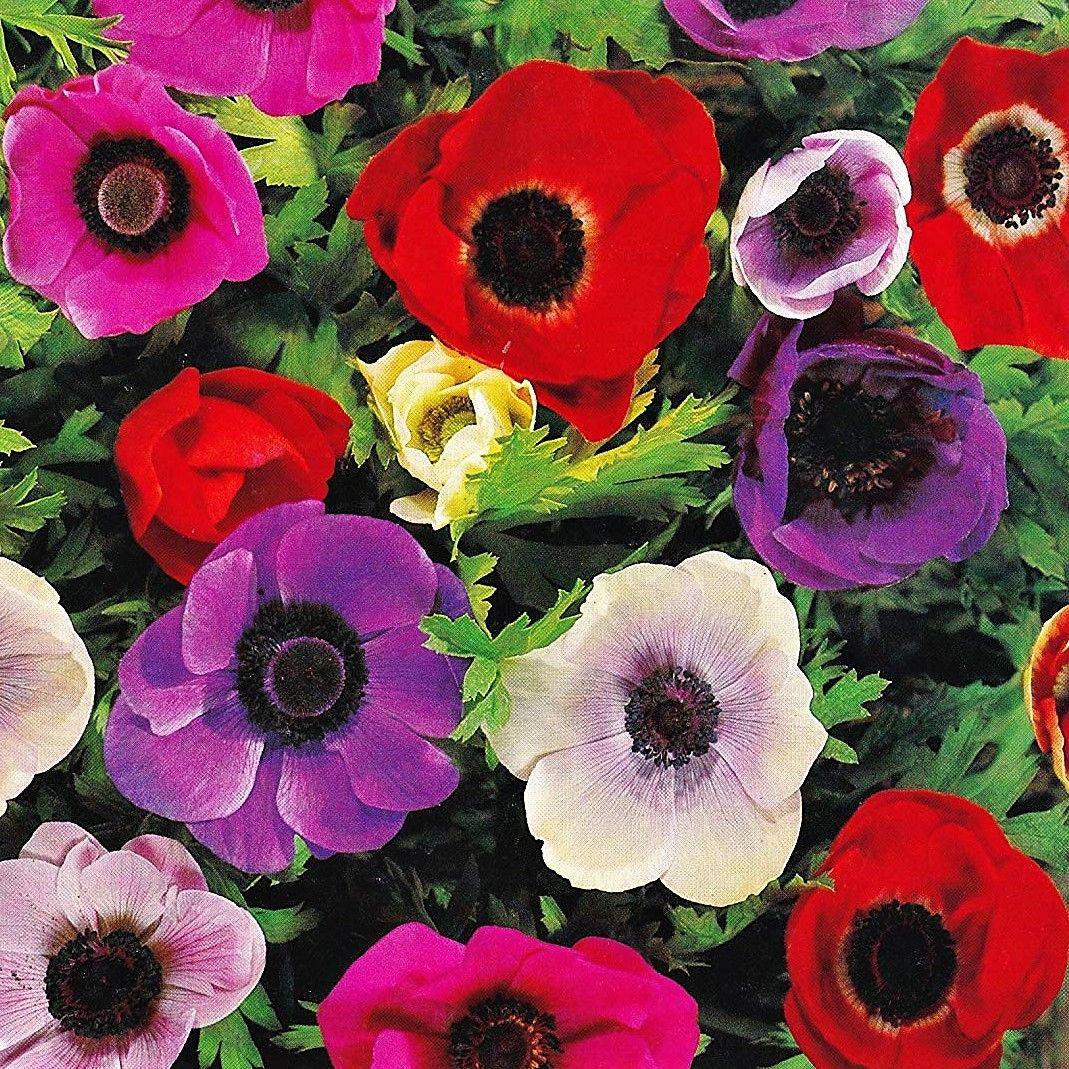 Wholesale Flowers Diy Wedding Flowers Anemones Assorted Online Wedding Flowers Wholesale Flowers Wedding Wholesale Flowers