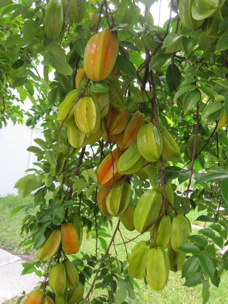 A Fruta Carambola Serve Para Que carambola or starfruit tree (averrhoa carambola)  frutas