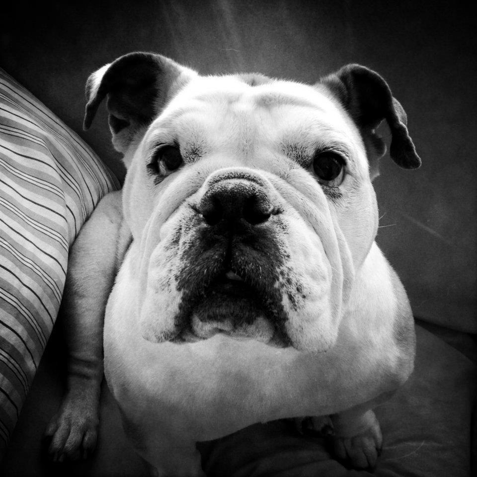 Chicago Illinois Usa Bulldog Rescue Dog Love Mans Best Friend