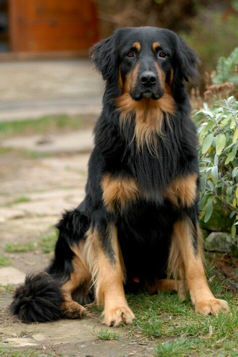 Hovawart Look at that coat! Dog breeds, Dogs