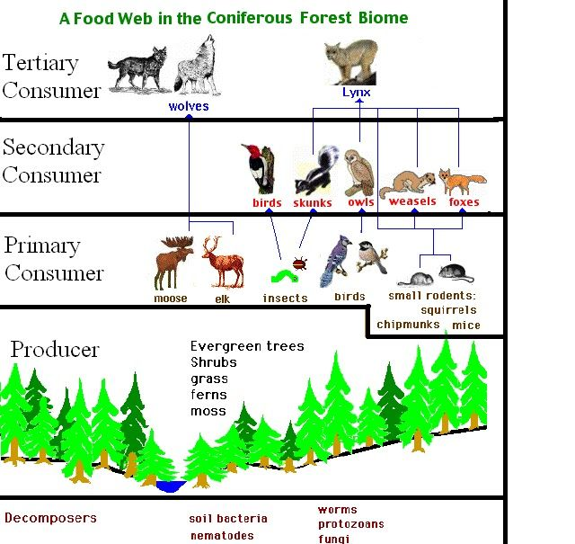 Coniferous Forest Food Web Google Search Ecosystems Diorama