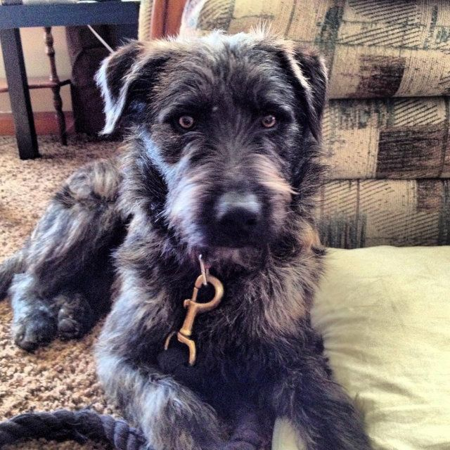 Standard Schnauzer Airedale Terrier Mix Google Search Scruffy