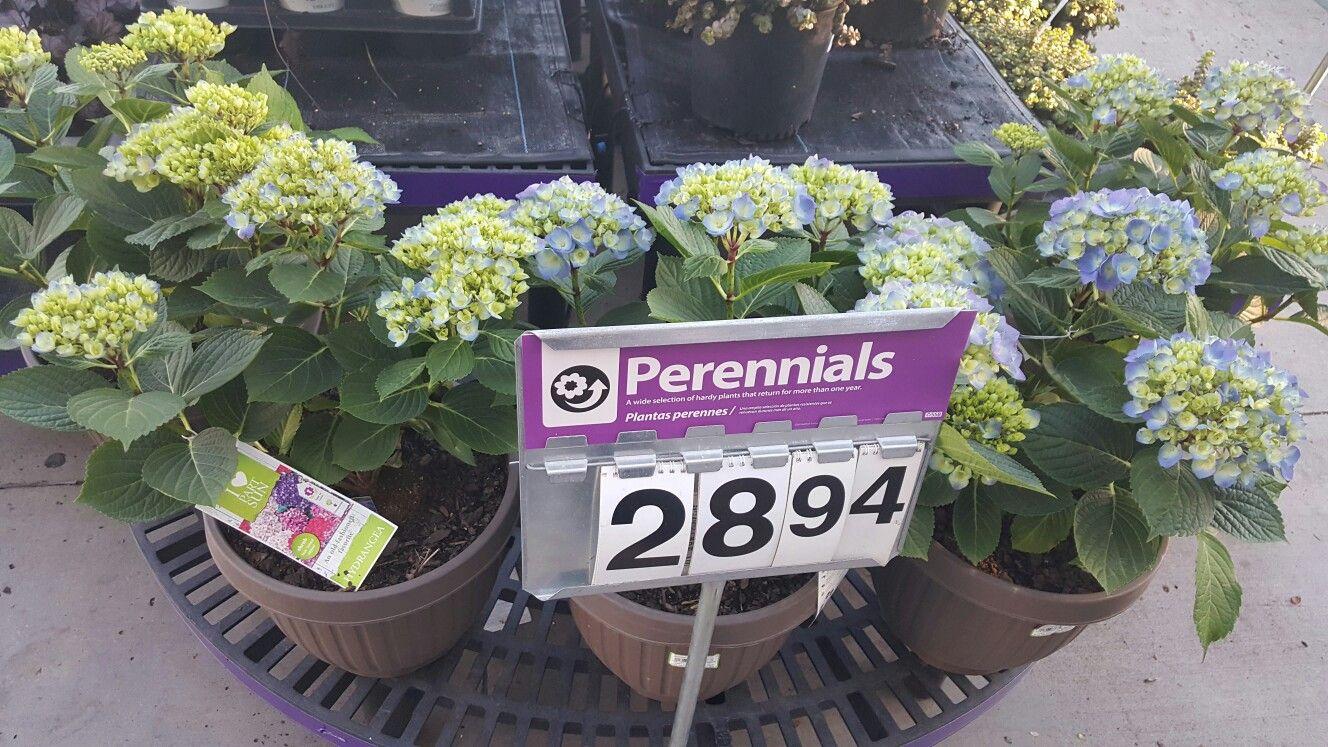 Hydrangea walmart 2900 perennial planting pinterest hydrangea walmart 2900 perennial mightylinksfo