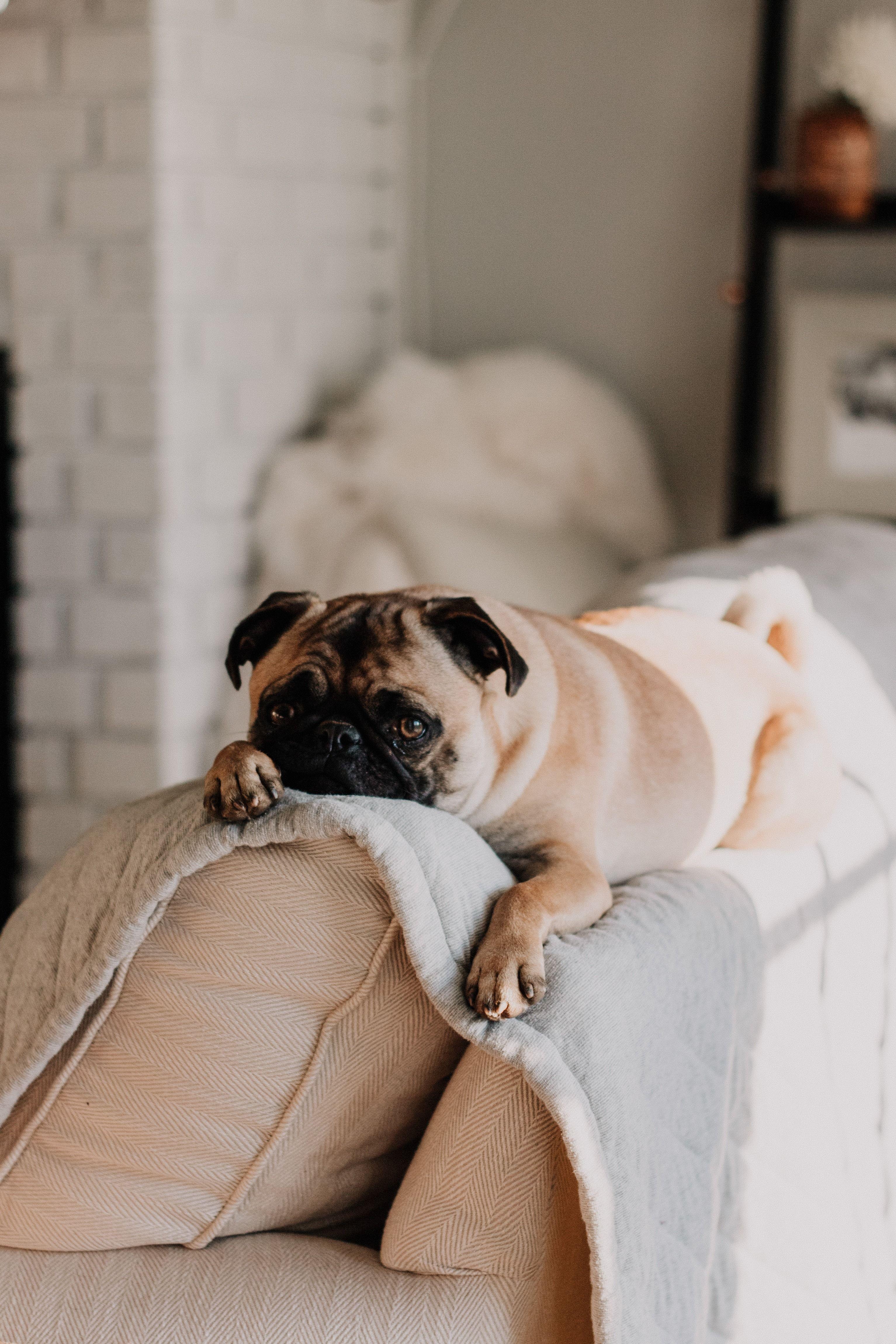 Fawn Pug Lying On Gray Blanket House Smell Good Top Dog Names