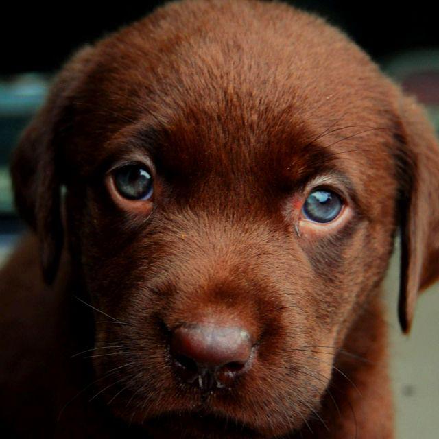 Cool Chocolate Brown Adorable Dog - 33ddb5ddb6e89b32388c8771325b10fd  You Should Have_759737  .jpg