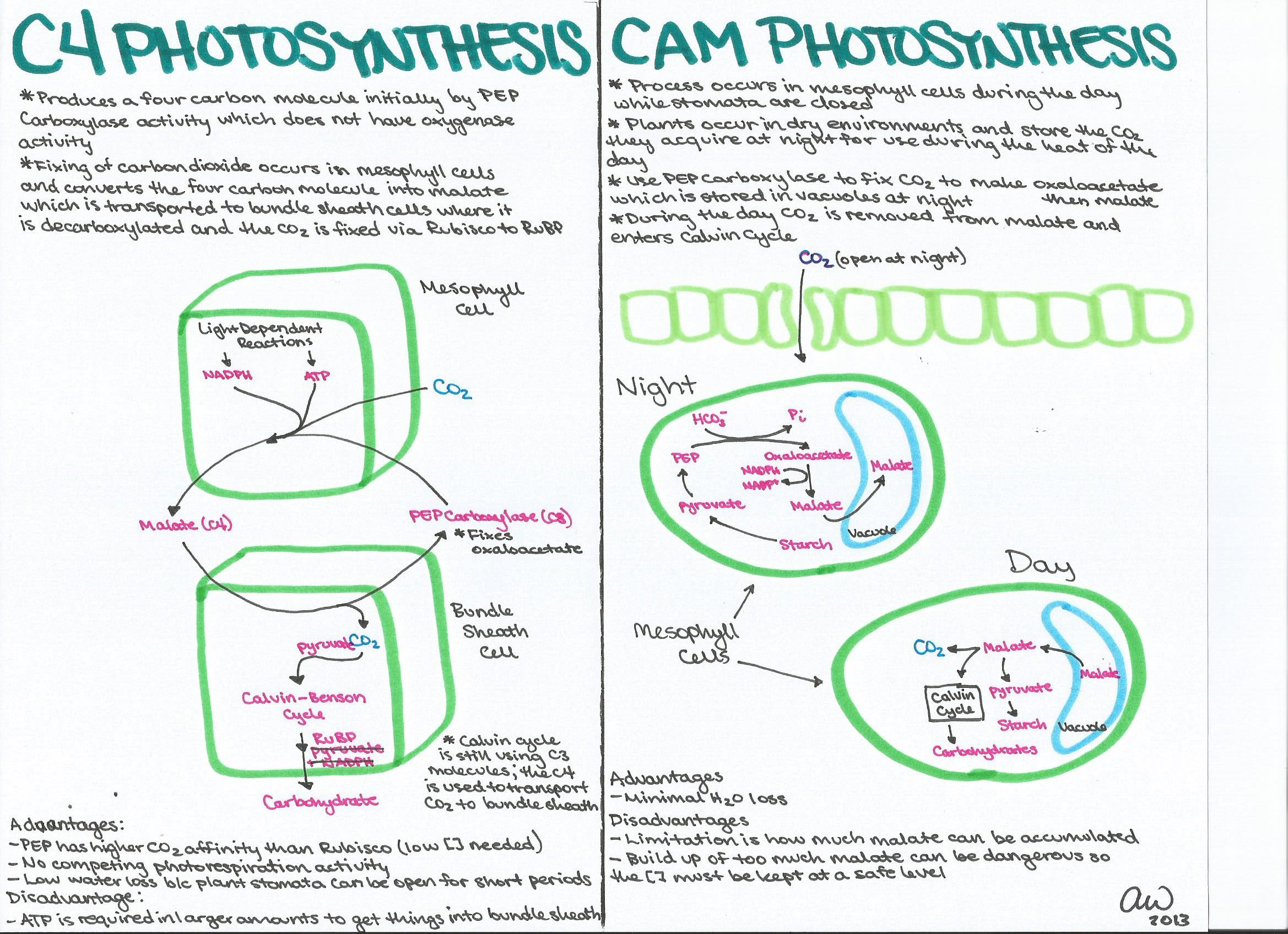 C4 And Cam Photosynthesis