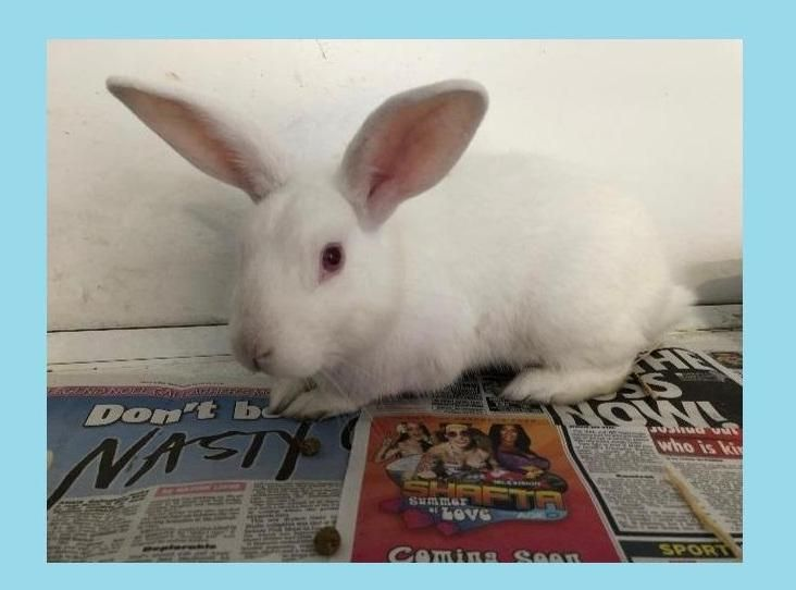 Image Of Albert Animals White Rabbits Rescue