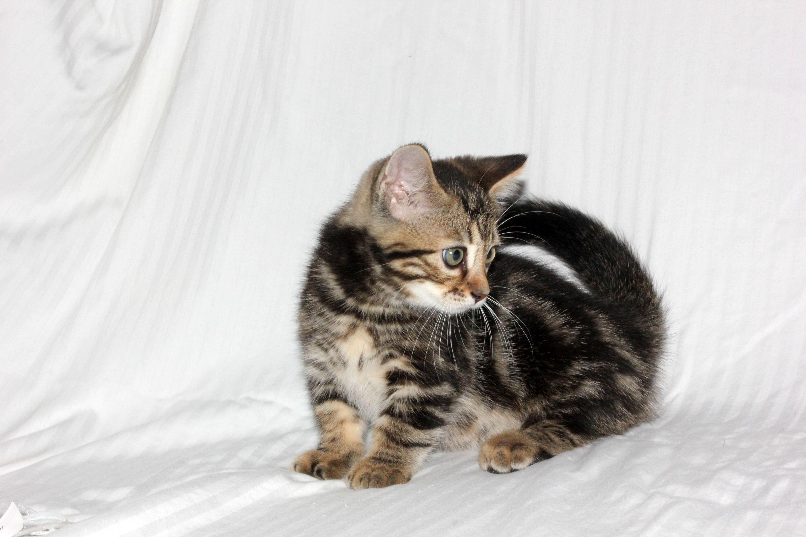 One Of My First Litter Of Bengal Munchkin Cats Munchkin Cat Fur Babies Animals
