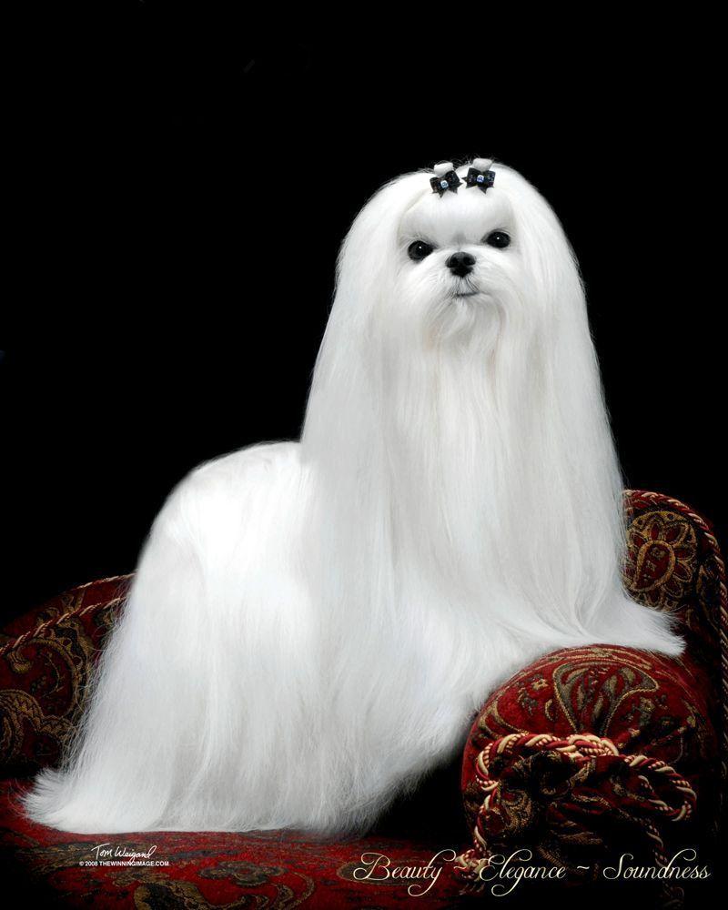 Maltese Dog Bree Maltese Dog Breed Maltese Dogs Maltese Dog Breed Maltese Puppy
