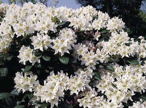 Rododendron Cunningham S White Rhododendron Cunningham S White