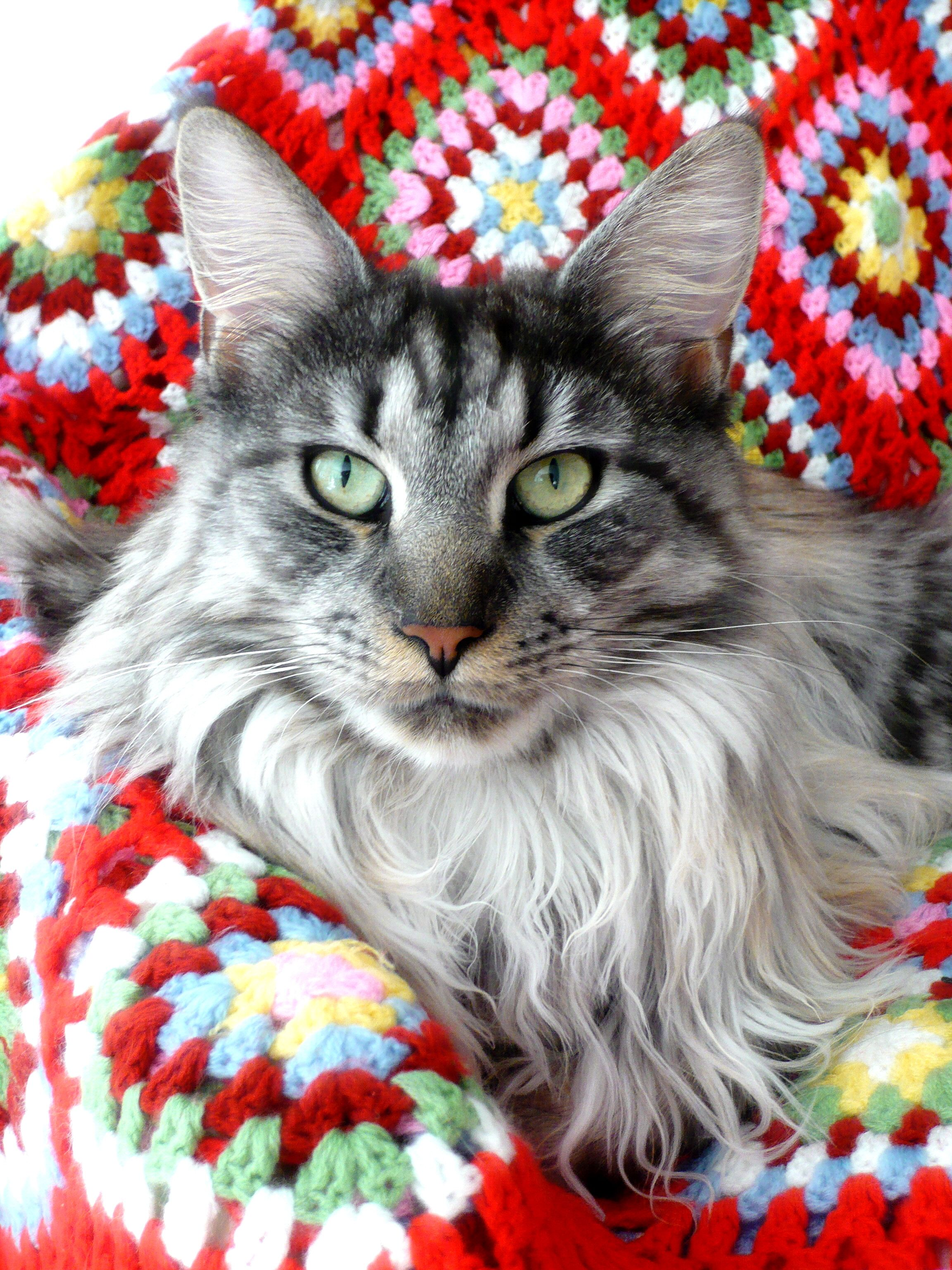 Пин на доске Maine Coon UK