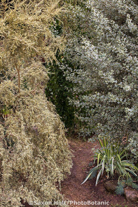 Path Between Tall Variegated Foliage Shrubs Azara Microphylla Variegata Boxleaf Azara On Left And Buckthorn Rhamnus Alatern California Garden Garden Shrubs