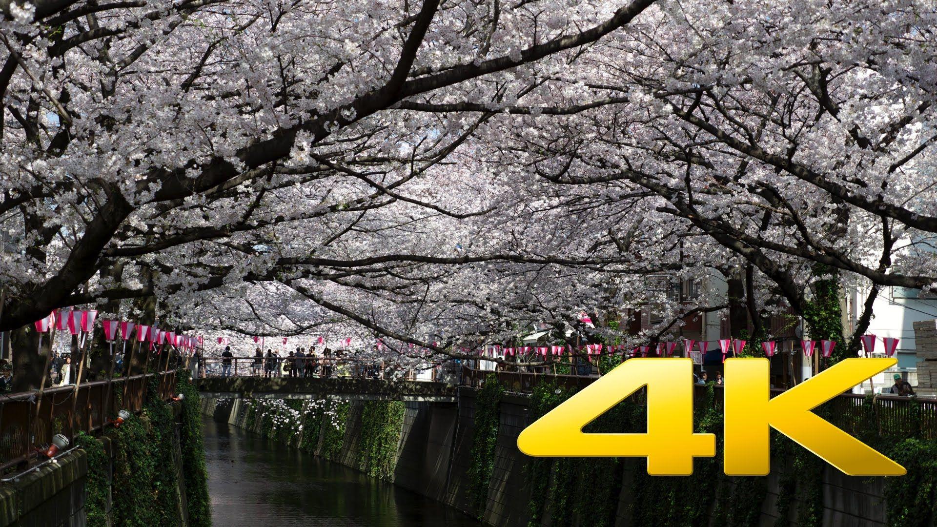 Tokyo Nakameguro Cherry Blossom - 中目黒のさくら - 4K Ultra HD www