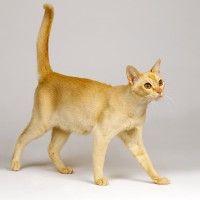 #dogalize Razas Felinas: El gato Ceylon carácter y características #dogs #cats #pets