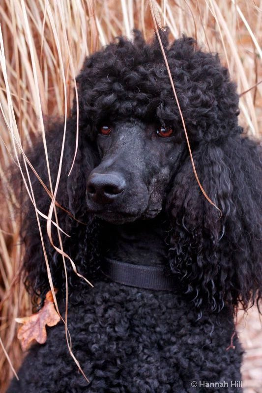 Discover The Athletic Poodle Puppy And Kids #poodlepup #poodlestar