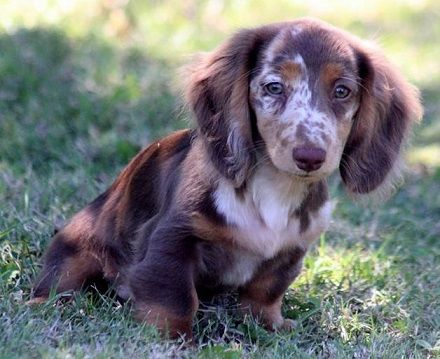 Related Image Long Haired Miniature Dachshund