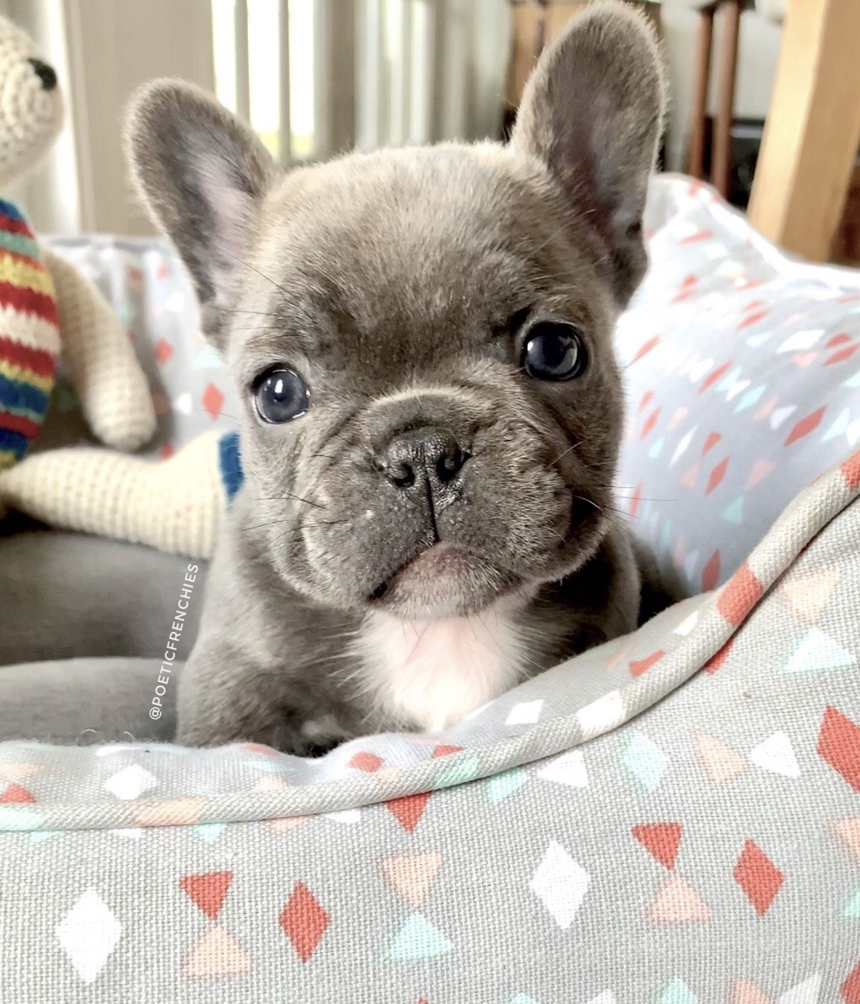 L O G A N Www Poeticfrenchbulldogs Com French Bulldog Puppies For Sale Health Certifi French Bulldog Puppies Cute Baby Animals Bulldog Puppies