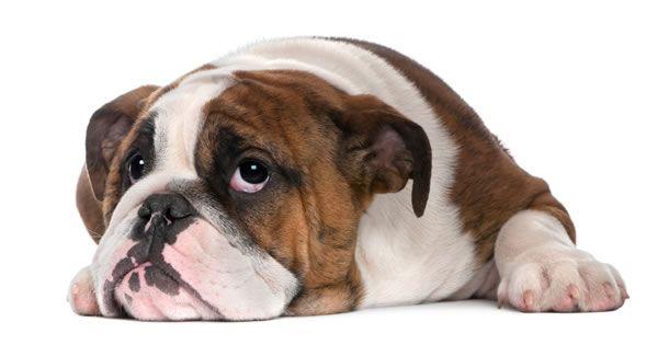 Brachycephalic Dogs Bulldog Puppies Puppies English Bulldog Puppy