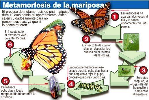 Metamorfosis De La Mariposa Mis Imágenes Escolares Lugares Que