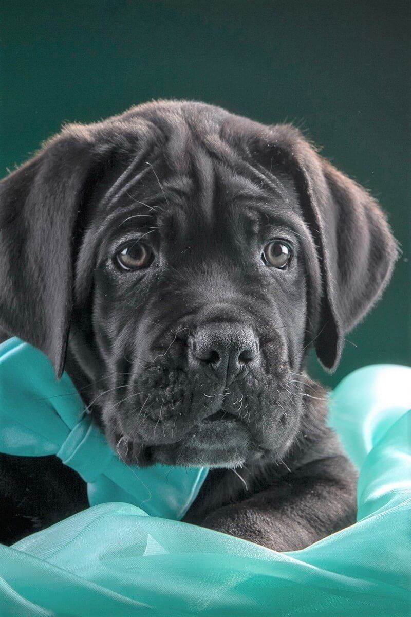 Differences Between Presa Canario And Cane Corso Dog Labrador Retriever Hybrid Dogs Corso Dog