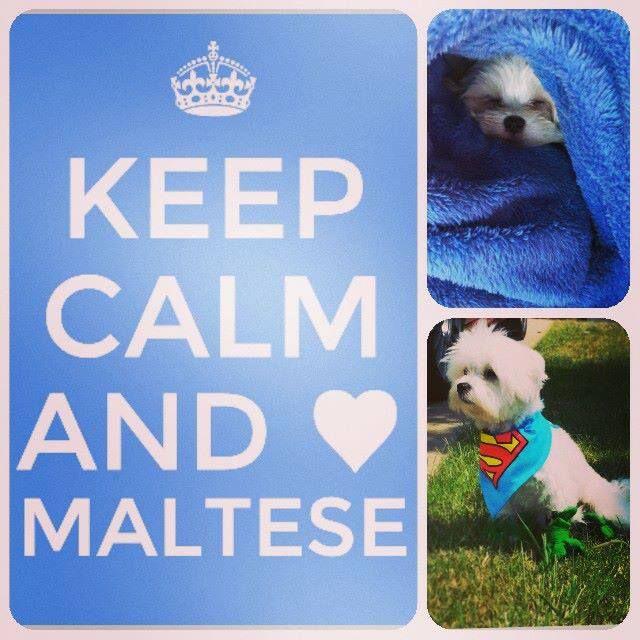 I Love My Maltese And Morkie Half Maltese Half Yorkie