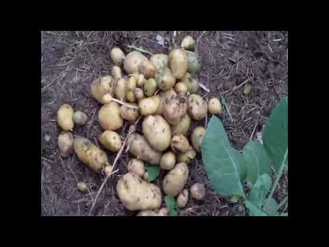 Kartoffeltürme ernten - YouTube