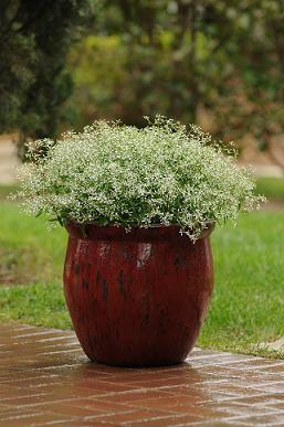 Euphorbia Glitz 100 seeds