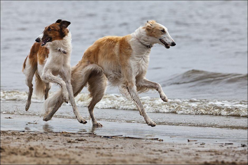 Pin Von Sabine Auf Barsoi Russischer Windhund Barsoi Windhund Hund Und Katze