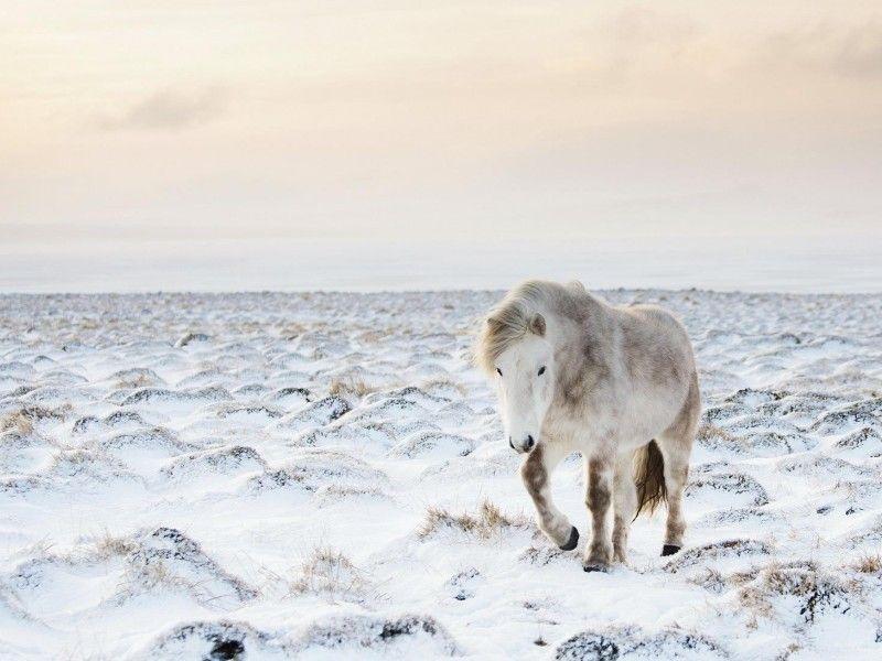 Les Fonds D Ecran Un Cheval Au Pas Dans La Neige Chevaux Dans La Neige Cheval Islandais Photographie Equestre