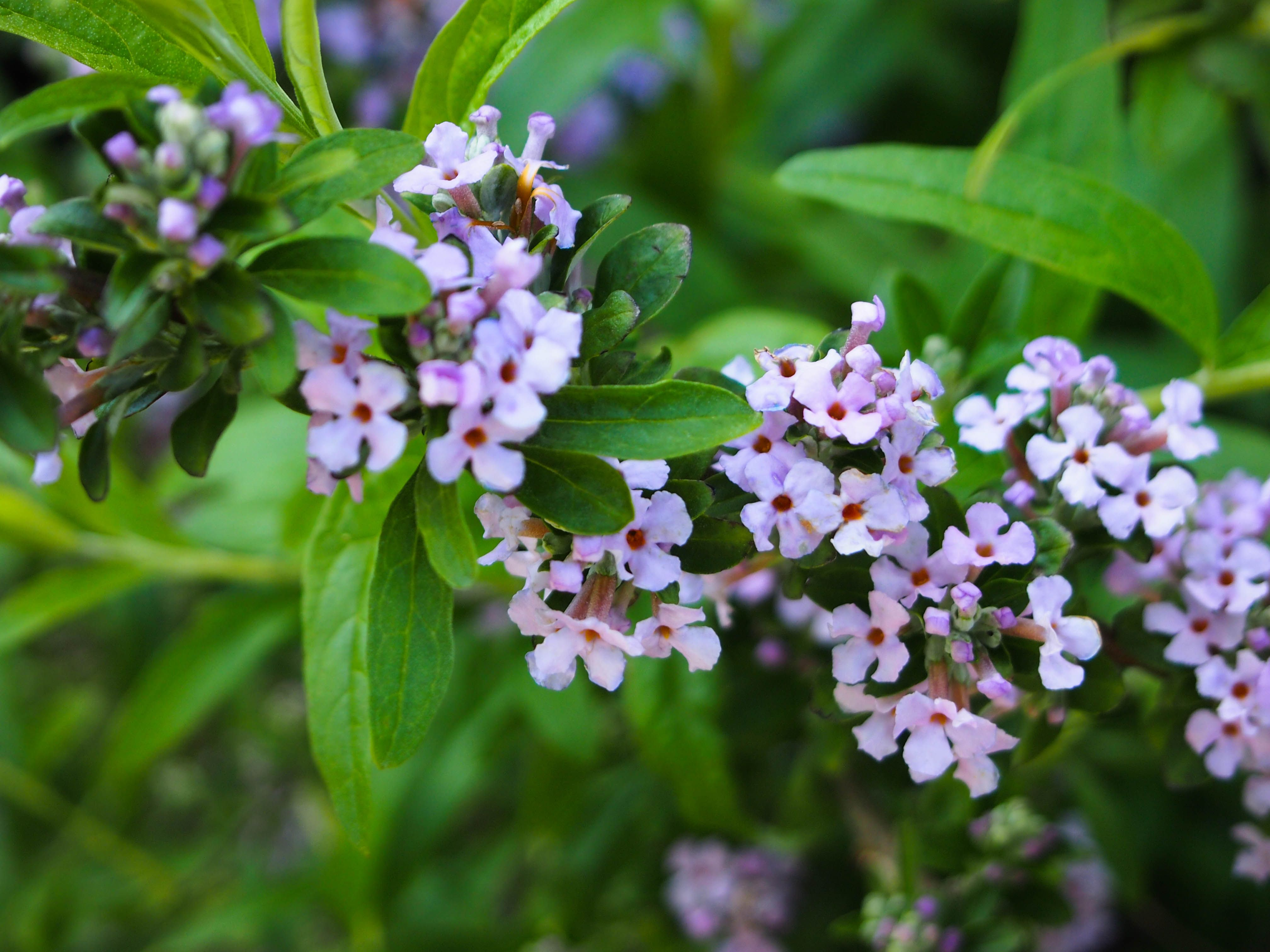 Buddleia alternifolia weeping butterfly bush deciduous for Flowering bushes for full sun