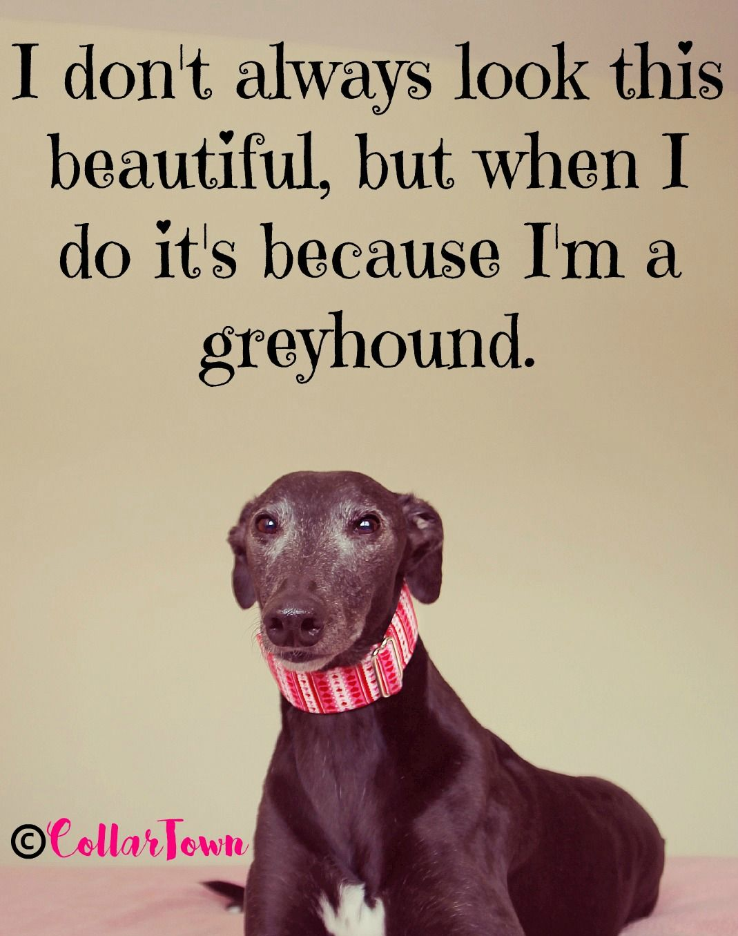 Pin By Hannah Clarke On Beautiful Sight Hounds Pictures Greyhounds Whippets And More Greyhounds Funny Grey Hound Dog Dog Expressions