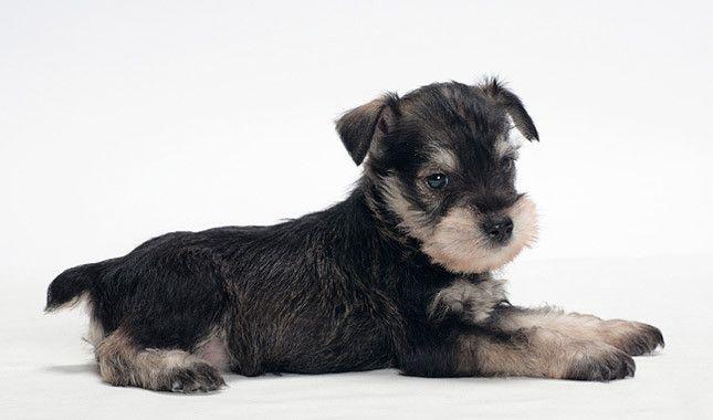 Miniature Schnauzer Miniature Schnauzer Black Miniature Schnauzer Puppies Miniature Schnauzer