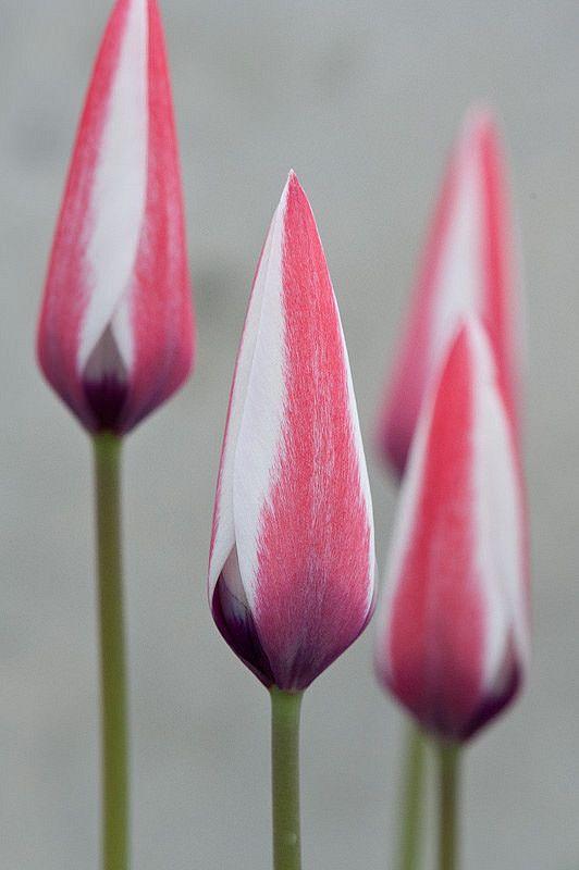 Tulipa Clusiana Tulips Flower Bud Flowers