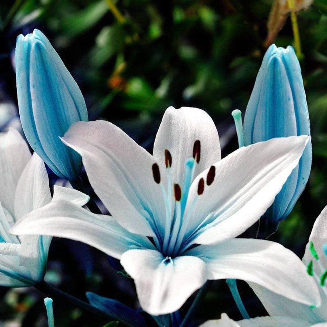 Blue heart lily seeds 100 super rare specials blue heart