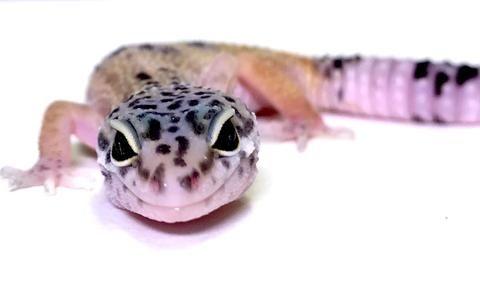 Dark Hypo Mack Snow Leopard Gecko(TSF) - #C-K5-73117-1