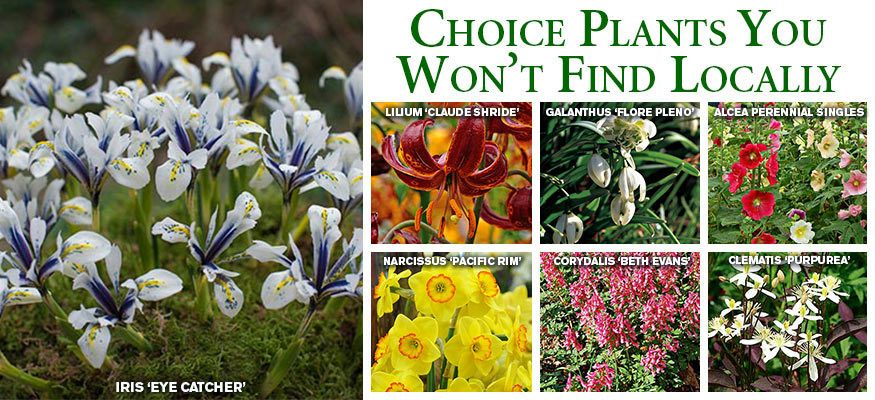 Shop from over 700 perennials shrubs vines bulbs and edibles in shop from over 700 perennials shrubs vines bulbs and edibles in the white flower farm catalogue all delivered at the right time for planting in your mightylinksfo