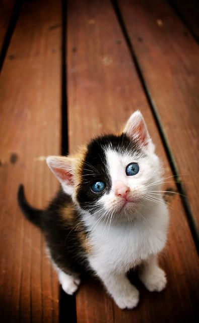Blue Eyed Calico Kitten Kittens Cutest Calico Kitten Cute Cats