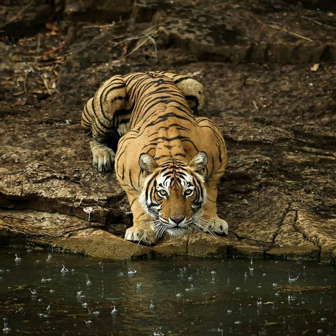 . Tiger. Photography by © (Somshri Patnaik). Slight
