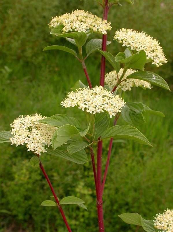 'Farkasszem' Dogwood Plant Profile